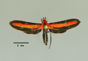 (Tipulodes rubriceps - MUSM-ArctVBC373)  @11 [ ] Copyright (2018) Juan Grados Museo de Historia Natural, UNMSM, Lima, Perú