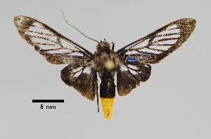 (Syntomostola - MUSM-ArctVBC431)  @11 [ ] Copyright (2018) Juan Grados Museo de Historia Natural, UNMSM, Lima, Perú