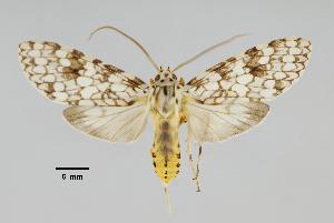 (Carales sp - MUSM-ArctVBC436)  @11 [ ] Copyright (2018) Juan Grados Museo de Historia Natural, UNMSM, Lima, Perú
