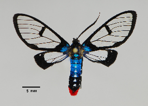 (Clystea - MUSM-ArctVBC437)  @11 [ ] Copyright (2018) Juan Grados Museo de Historia Natural, UNMSM, Lima, Perú