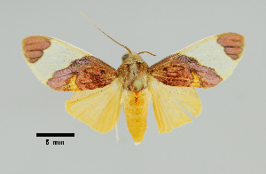 (Paranerita - MUSM-ArctVBC453)  @11 [ ] Copyright (2018) Juan Grados Museo de Historia Natural, UNMSM, Lima, Perú