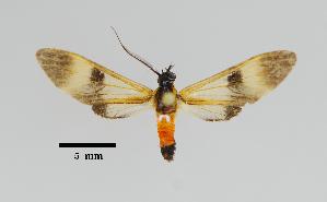 (Leucotmemis sp - MUSM-ArctVBC552)  @11 [ ] Copyright (2018) Juan Grados Museo de Historia Natural, UNMSM, Lima, Perú