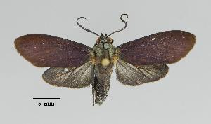 (Parascepsis - MUSM-ArctVBC606)  @11 [ ] Copyright (2018) Juan Grados Museo de Historia Natural, UNMSM, Lima, Perú