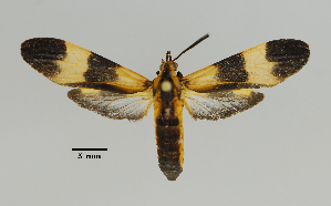 (Pionia - MUSM-ArctVBC651)  @11 [ ] Copyright (2018) Juan Grados Museo de Historia Natural, UNMSM, Lima, Perú