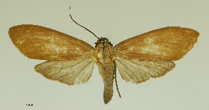 (Parascepsis - MUSM-ArctVBC890)  @11 [ ] Copyright (2019) Juan Grados Museo de Historia Natural, UNMSM, Lima, Perú