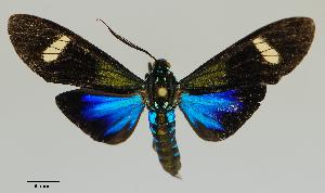 (Belemniastis - MUSM-ArctVBC905)  @11 [ ] Copyright (2019) Juan Grados Museo de Historia Natural, UNMSM, Lima, Perú