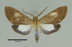 (Episcepsis nr. grisescens - MUSM-ArctVBC97)  @15 [ ] Copyright (2017) Juan Grados Museo de Historia Natural, UNMSM, Lima, Perú