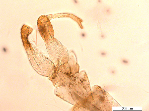(Chaoborus ceratopogones - RIKPSY024)  @11 [ ] CC-by (2017) Unspecified University Museum of Bergen
