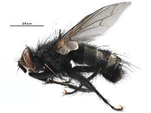 (Tachinomyia - BIOUG22360-E02)  @15 [ ] CC-0 (2015) CBG Photography Group Centre for Biodiversity Genomics