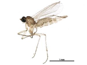 (Corynoptera subcavipes - BIOUG23319-F11)  @15 [ ] CC-0 (2016) CBG Photography Group Centre for Biodiversity Genomics