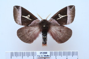 (Dirphiopsis lombardi - BC-CGCM-23.099)  @14 [ ] Copyright (2010) Carlos Mielke Research Collection of Carlos Mielke