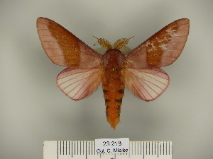 (Megaceresa - BC-CGCM 23.218)  @14 [ ] Copyright (2010) Carlos Mielke Research Collection of Carlos Mielke