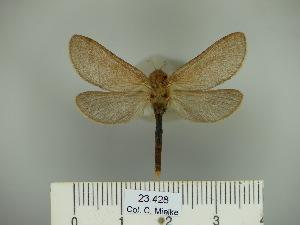 (Hepialyxodes - BC-CGCM 23.428)  @13 [ ] Copyright (2010) Carlos Mielke Research Collection of Carlos Mielke