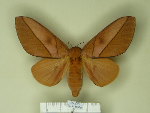 (Syssphinx centrichuchuviana - BC-CGCM 24.285)  @14 [ ] Unspecified (default): All Rights Reserved  Unspecified Unspecified