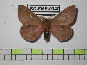 (Cerodirphia parvagans - BC-FMP-0340)  @13 [ ] Copyright (2010) Frank Meister Research Collection of Frank Meister