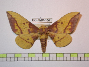 (Eacles imperialis piurensis - BC-FMP-1061)  @15 [ ] Copyright (2010) Frank Meister Research Collection of Frank Meister