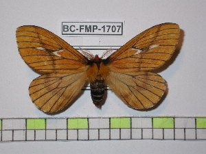 (Cerodirphia nadiana - BC-FMP-1707)  @15 [ ] Copyright (2010) Frank Meister Research Collection of Frank Meister