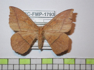 (Periga parvicajamarcensis - BC-FMP-1793)  @14 [ ] Copyright (2010) Frank Meister Research Collection of Frank Meister