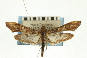 (Lineodes sp. 1SAPYR - CNCLEP00089336)  @11 [ ] CreativeCommons - Attribution Non-Commercial Share-Alike (2011) JF Landry,Canadian National Collections & Zhaofu Yang, BIO Canadian National Collections