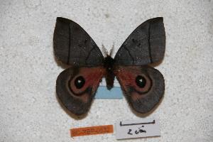 (Automeris juarezia - BC-RBP-0532)  @14 [ ] Copyright (2010) Ron Brechlin Research Collection of Ron Brechlin