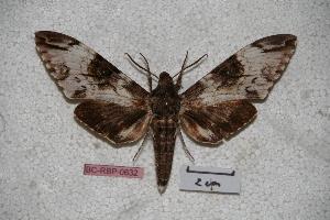 (Psilogramma makirae - BC-RBP-0632)  @13 [ ] Copyright (2010) Ron Brechlin Research Collection of Ron Brechlin