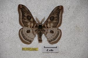 (Saturnia cidosa - BC-RBP-0992)  @13 [ ] Copyright (2010) Ron Brechlin Research Collection of Ron Brechlin