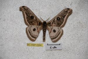 (Saturnia roseata - BC-RBP-0994)  @14 [ ] Copyright (2010) Ron Brechlin Research Collection of Ron Brechlin