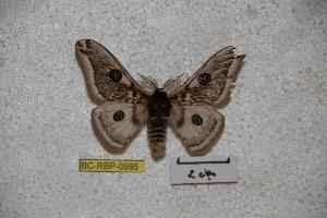 (Saturnia phahompok - BC-RBP-0995)  @14 [ ] Copyright (2010) Ron Brechlin Research Collection of Ron Brechlin