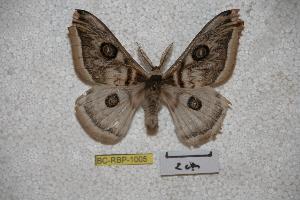 (Saturnia centralis - BC-RBP-1005)  @14 [ ] Copyright (2010) Ron Brechlin Research Collection of Ron Brechlin