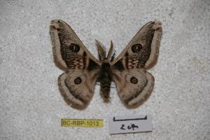 (Saturnia taibaishanis - BC-RBP-1013)  @13 [ ] Copyright (2010) Ron Brechlin Research Collection of Ron Brechlin