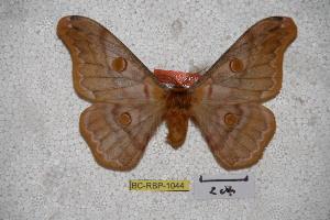 (Saturnia witti - BC-RBP-1044)  @15 [ ] Copyright (2010) Ron Brechlin Research Collection of Ron Brechlin