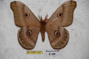 (Saturnia winbrechlini - BC-RBP-1047)  @14 [ ] Copyright (2010) Ron Brechlin Research Collection of Ron Brechlin
