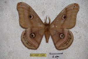 (Saturnia minshanensis - BC-RBP-1048)  @13 [ ] Copyright (2010) Ron Brechlin Research Collection of Ron Brechlin