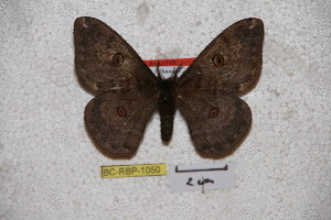 (Saturnia kitchingi - BC-RBP-1050)  @15 [ ] Copyright (2010) Ron Brechlin Research Collection of Ron Brechlin