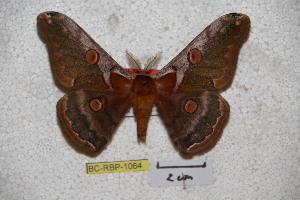 (Saturnia sinjaevi - BC-RBP-1064)  @15 [ ] Copyright (2010) Ron Brechlin Research Collection of Ron Brechlin