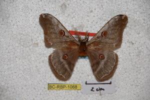 (Saturnia fujiana - BC-RBP-1068)  @11 [ ] Copyright (2010) Ron Brechlin Research Collection of Ron Brechlin