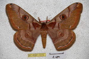 (Saturnia naumanni - BC-RBP-1072)  @14 [ ] Copyright (2010) Ron Brechlin Research Collection of Ron Brechlin