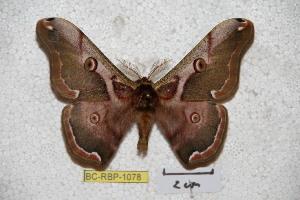 (Saturnia fukudai - BC-RBP-1078)  @15 [ ] Copyright (2010) Ron Brechlin Research Collection of Ron Brechlin