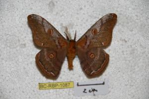(Saturnia chinensis - BC-RBP-1087)  @11 [ ] Copyright (2010) Ron Brechlin Research Collection of Ron Brechlin