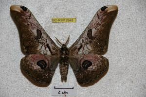 (Saturnia zuleika - BC-RBP 2848)  @14 [ ] Copyright (2010) Ron Brechlin Research Collection of Ron Brechlin