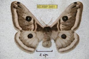 (Saturnia cognata - BC-RBP 3451)  @15 [ ] Copyright (2010) Ron Brechlin Research Collection of Ron Brechlin