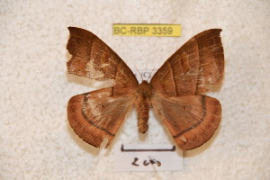 (Prohylesia carpishiana - BC-RBP 3359)  @12 [ ] Copyright (2010) Ron Brechlin Research Collection of Ron Brechlin
