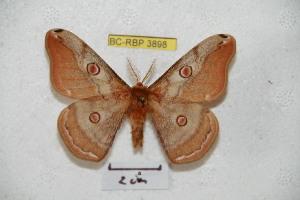(Saturnia saldaitisi - BC-RBP 3898)  @14 [ ] Copyright (2010) Ron Brechlin Research Collection of Ron Brechlin