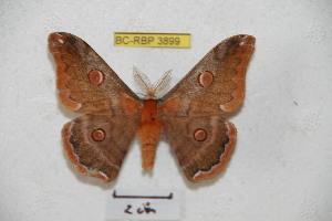 (Saturnia ruda - BC-RBP 3899)  @14 [ ] Copyright (2010) Ron Brechlin Research Collection of Ron Brechlin