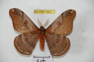 (Saturnia ruda - BC-RBP 3901)  @14 [ ] Copyright (2010) Ron Brechlin Research Collection of Ron Brechlin