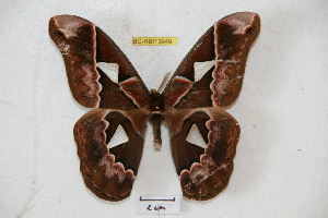 (Rothschildia orizaba verapaziana - BC-RBP 3949)  @11 [ ] Copyright (2010) Ron Brechlin Research Collection of Ron Brechlin
