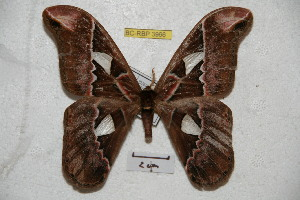 (Rothschildia orizaba peruviana - BC-RBP 3966)  @11 [ ] Copyright (2010) Ron Brechlin Research Collection of Ron Brechlin