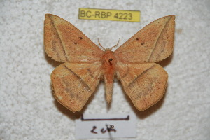 (Periga circleopoldina - BC-RBP 4223)  @15 [ ] Copyright (2010) Ron Brechlin Research Collection of Ron Brechlin