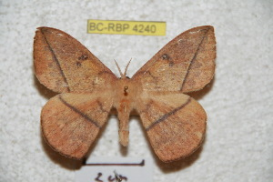 (Periga paraleopoldina - BC-RBP 4240)  @12 [ ] Copyright (2010) Ron Brechlin Research Collection of Ron Brechlin