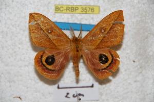 (Automeris suteri - BC-RBP 3576)  @14 [ ] Copyright (2010) Ron Brechlin Research Collection of Ron Brechlin